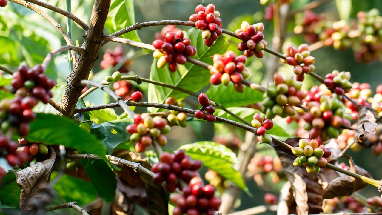 「コーヒーを楽しむ日本人」が知らない、生産地の悲惨な実態