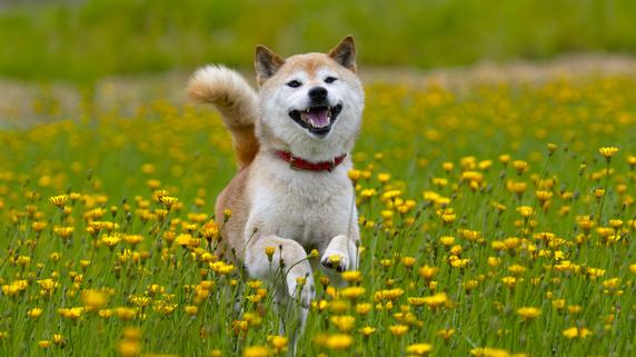 柴犬マークがユニークな「ドージコイン」の特徴とは?