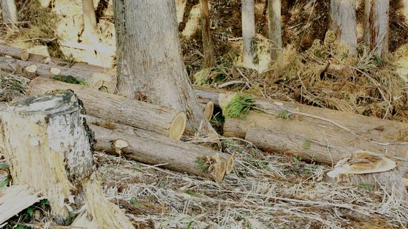 農林省の植林政策による「スギ林」が環境にもたらす悪影響