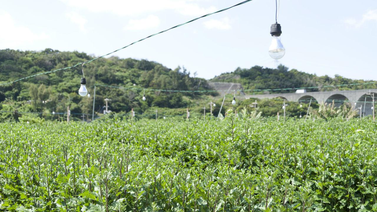 「電照菊」の出荷額の地図化 見えてくる産地の特徴とは?