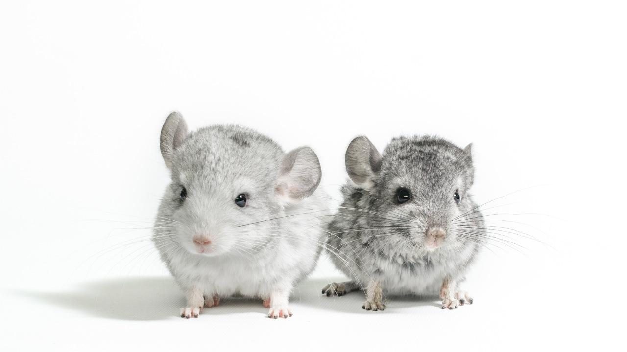 プ、プ、プレッシャー…ネズミ vs 駆除プロ「松山で大騒ぎ編」