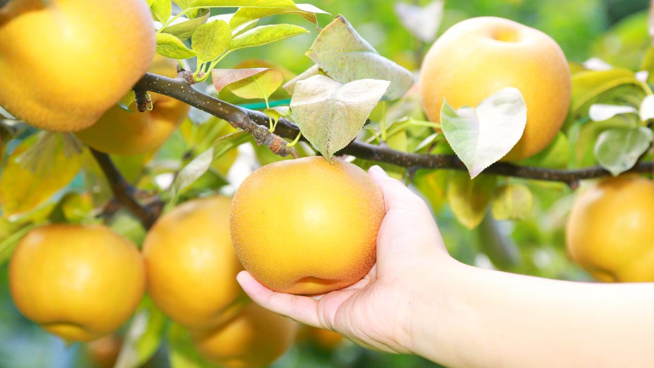 「台風で収穫量が半分」ピンチの梨農家が、ボロ儲けできたワケ